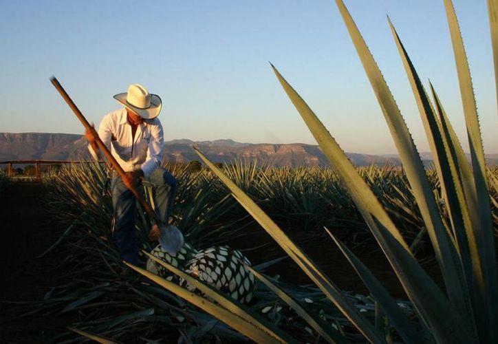 Hay más de 200 especies de agave en la República Mexicana, pero las de mayor importancia económica son el agave azul tequilero y el fourcroydes. (Notimex)
