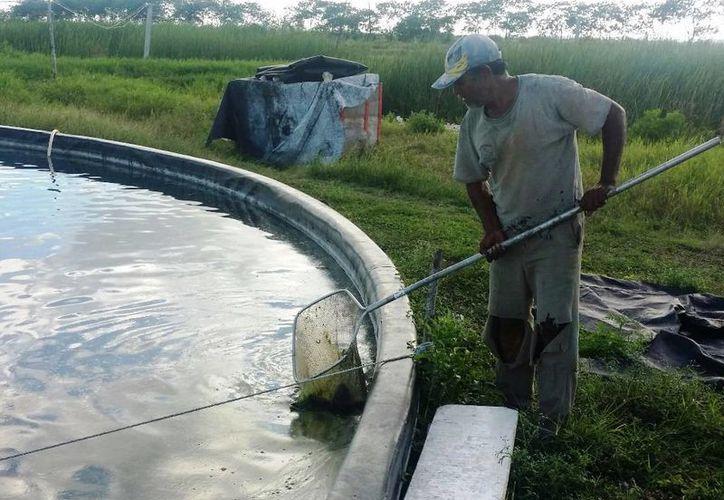 Algunos acuacultores dicen que sólo son unas 10 granjas las que realmente se dedican a producir el pescado para venta. (Edgardo Rodríguez/SIPSE)