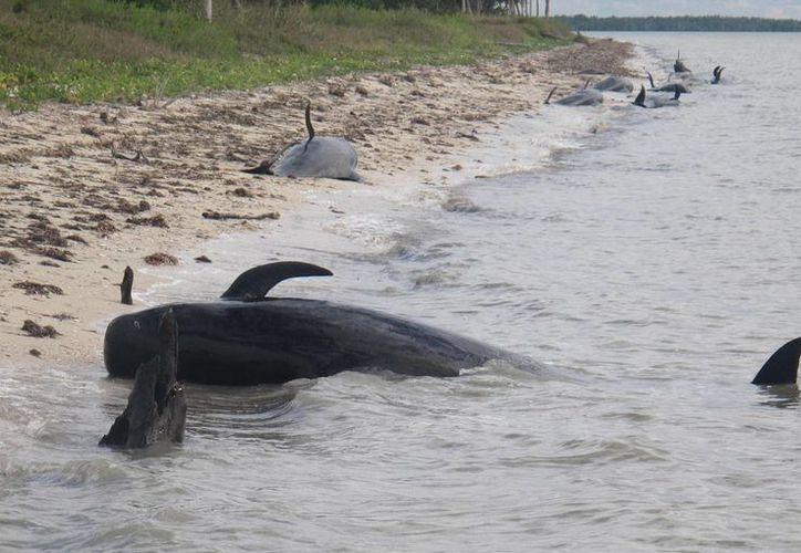 Las ballenas parecían confusas estando en aguas poco profundas, informaron autoridades ambientales. (Agencias)