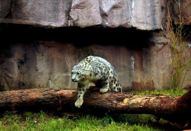 Imagen de contexto. Un leopardo salvaje hirió al menos a seis personas en un colegio de Bangalore, en el sur de la India. (Notimex)