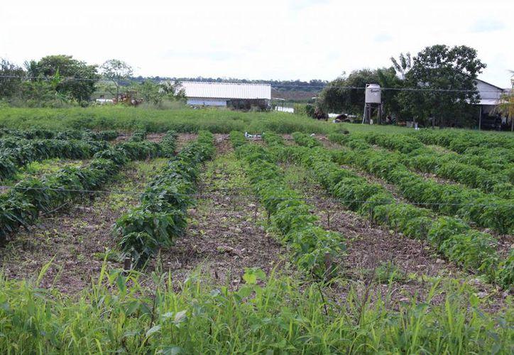 El campo de quintanarroense se vería afectado por la introducción de químicos y tala de selva. (Ángel Castilla/SIPSE)