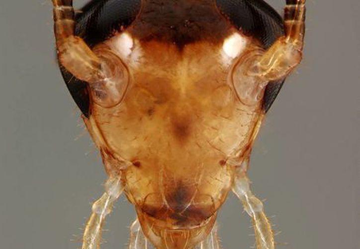Esta imagen sin fecha proporcionada por Ayako Wada-Katsumata y Andrew Ernst muestra la cabeza de una cucaracha alemana macho. (Agencias)