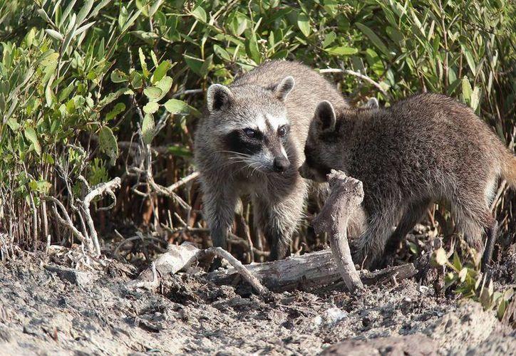 Los animales cruzan la carretera para buscar alimento y agua. (Gustavo Villegas/SIPSE)