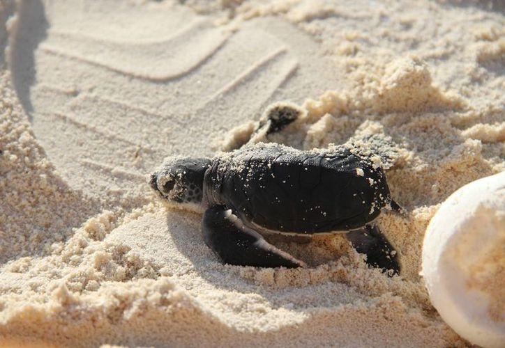 Realizan capacitaciones intensivas para la temporada de protección y conservación de tortugas. (Luis Soto/SIPSE)