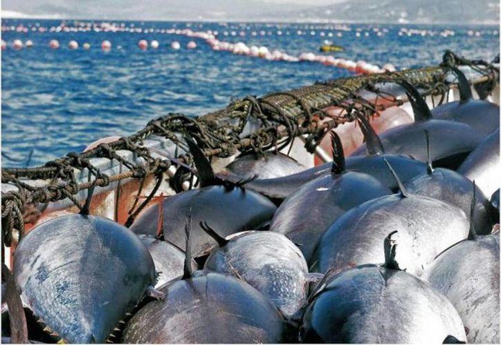 En 2012 la OMC encontró que las disposiciones de Estados Unidos contra el atún mexicano eran discriminatorias. (lainformacion.com)
