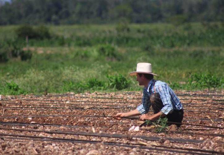 Un proyecto sera destinado para la producción de sandía,  papaya maradol y piña. (Contexto/SIPSE)