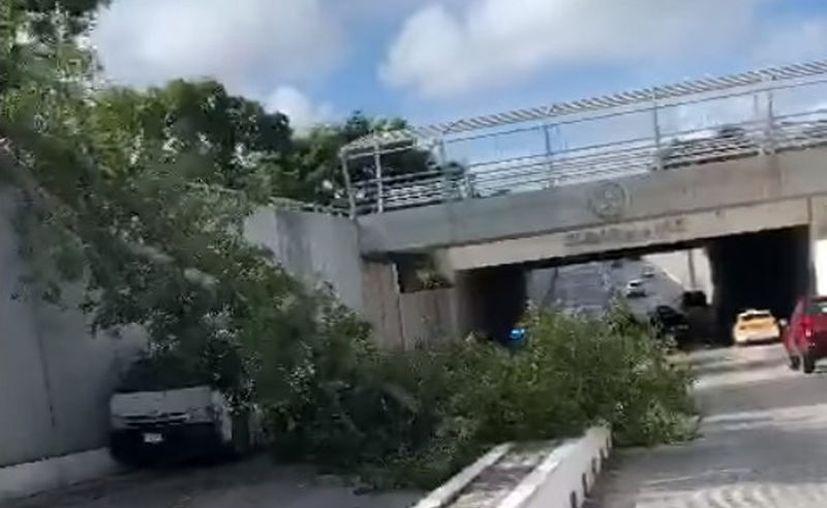 El vetusto árbol es uno de tantos que están cayendo en la ciudad por los años que ya tienen a cuestas. (Captura de pantalla)