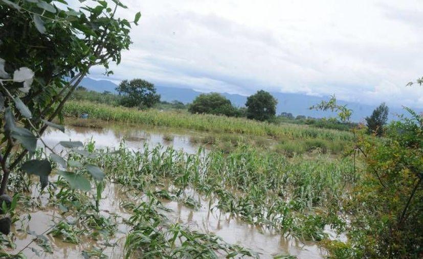 Se atrasa la cosecha debido a las constantes lluvias. (Harold Alcocer/SIPSE)