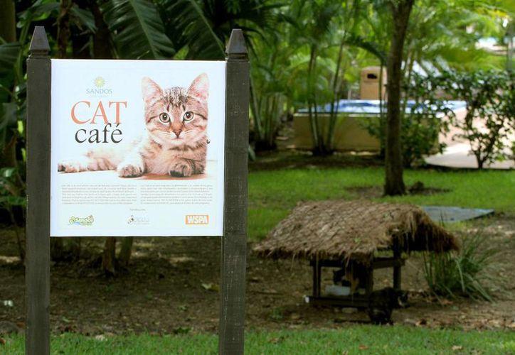 El programa 'Cat Café' busca el trato humanitario de los felinos en los hoteles. (Daniel Pacheco/SIPSE)
