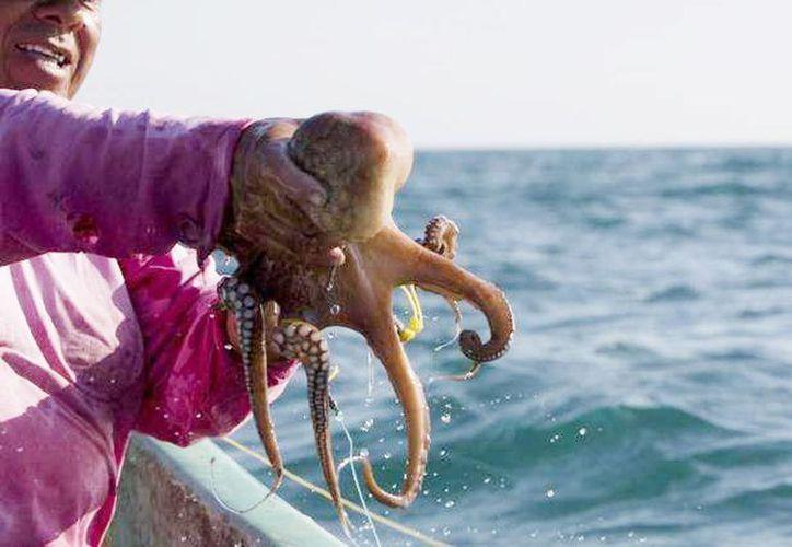 El Octopus maya es un cefalópodo que se distribuye únicamente en el mar del Golfo de México, cerca de la costa de la península de Yucatán. (Archivo/SIPSE)