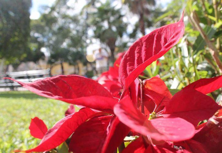 Miles de flores de Nochebuena decoran parques, jardines y camellones de Mérida en esta temporada decembrina. (SIPSE)