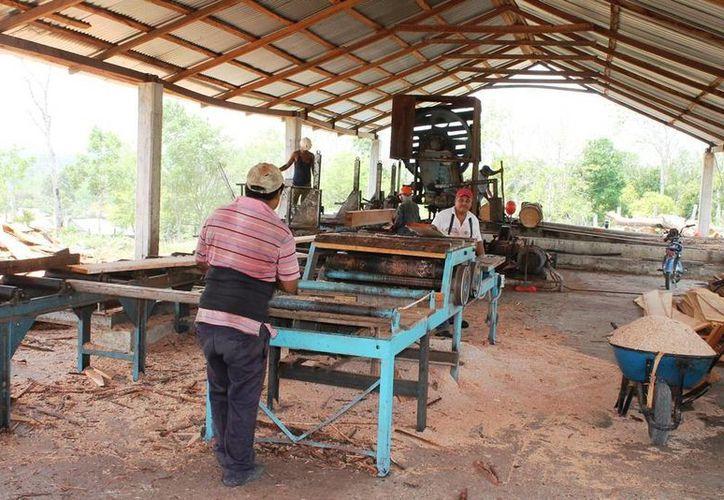 Los productores forestales realizan la extracción de maderas preciosas en sus ejidos. (Edgardo Rodríguez/SIPSE)