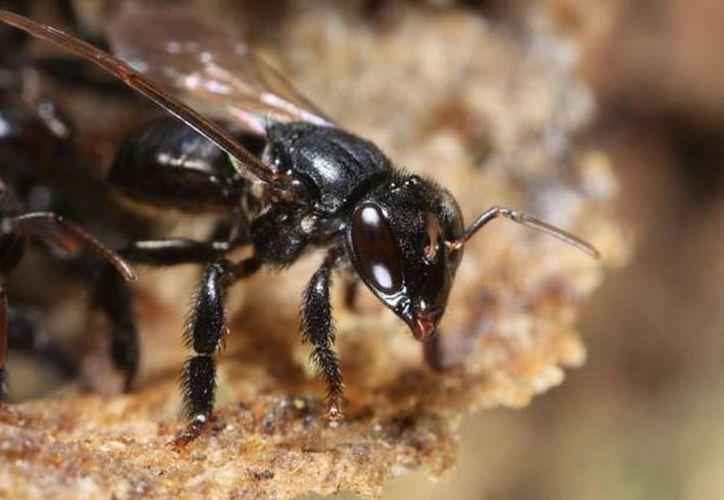 Las lluvias que se registraron esta semana permitirán que al menos siete proyectos de cultivo de abeja melipona maya. (Archivo/SIPSE).