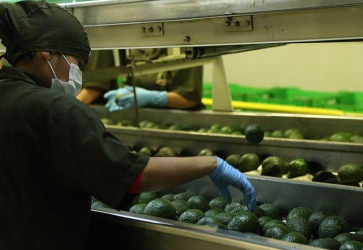 De 2013 a 2016 el promedio de ventas de aguacate mexicano al mundo fue de mil 740 millones de dólares. (Excelsior)