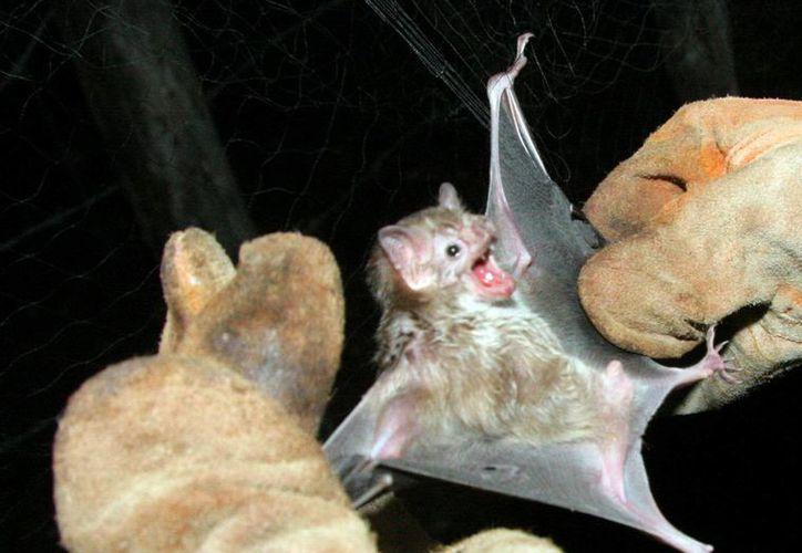 Organizaciones piden garantías de que la población de murciélagos no sufrirá daños por el parque eólico. (Milenio Novedades)