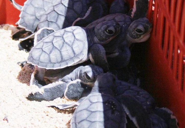 En esta temporada se registraron 5 mil 708 nidos de tortuga. (Cortesía/SIPSE)