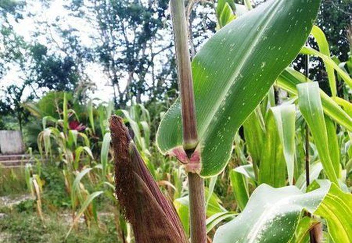 Cerca de 200 hectáreas del sur del Estado se perdieron por la sequía, a pesar de que los productores recibieron apoyo técnico. (Edgardo Rodríguez/SIPSE)