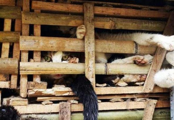 La semana pasada la policía detuvo el camión que transportaba tres toneladas de gatos apretujados en canastas de bambú. (AFP)