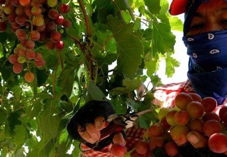 Algunos vendedores ofrecen la uva roja con semilla entre 50 y 60 pesos. (Notimex)