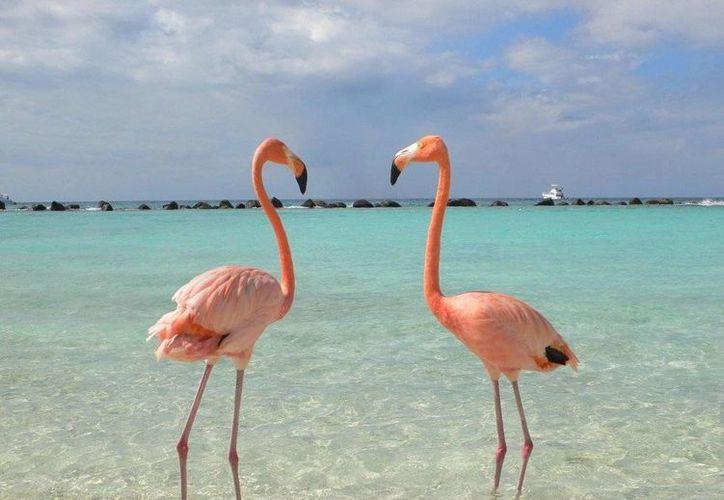 Esta ave se caracteriza por su plumaje de color rosa en la Peninsula de Yucatán. (Contexto/Intenet)