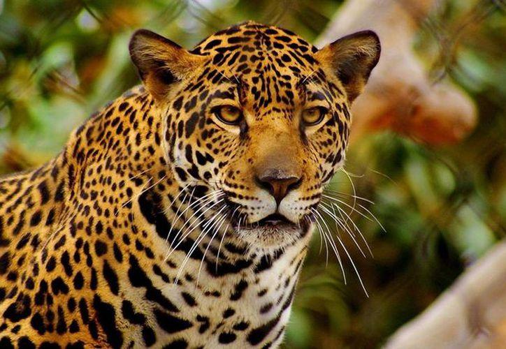 En las zonas establecidas para los corredores es posible ver esta especie con mayor frecuencia. (Luis Soto/SIPSE)