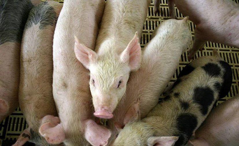 Yucatán es uno de los estados más importantes de México en cuanto a producción de cerdo en canal. (SIPSE)
