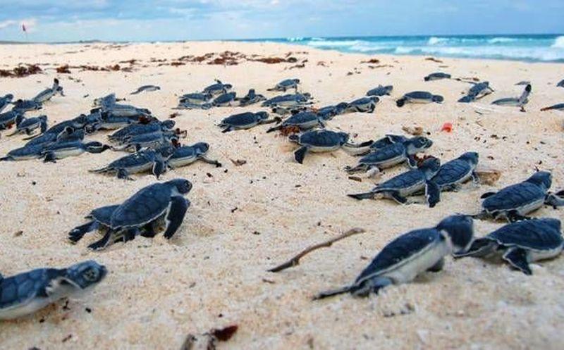 tortugas caminando al mar en la Riviera Maya