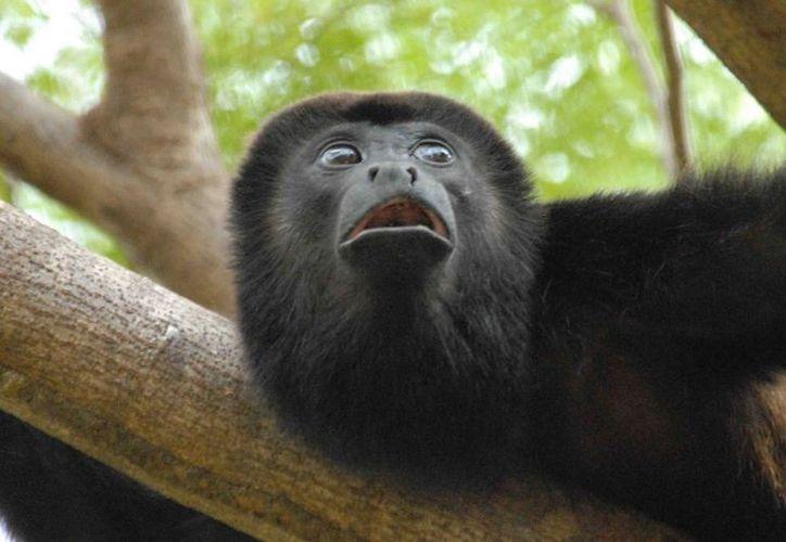 El estudio se concentró en dos especies de las 14 que existen de estos primates. (tripadvisor.com)