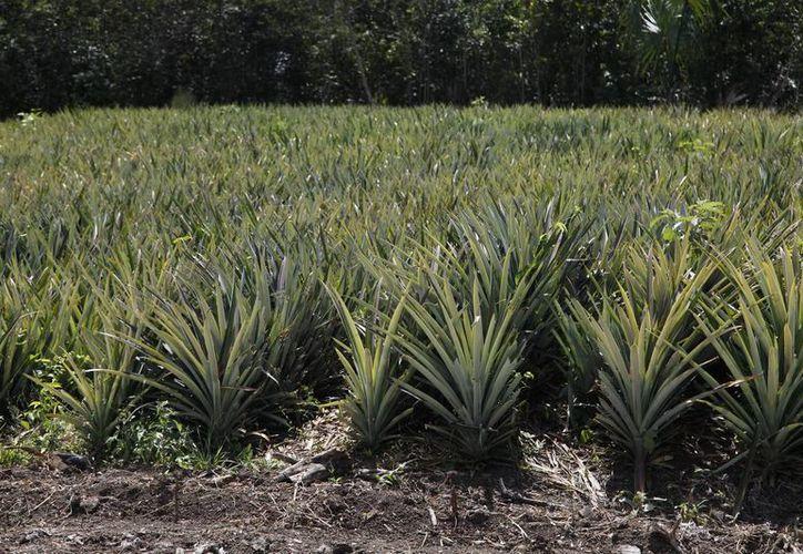 Los productores bacalarenses, atraviesan problemas económicos, optan por alternativas más económicas, como el fertilizante orgánico. (Javier Ortiz/SIPSE)