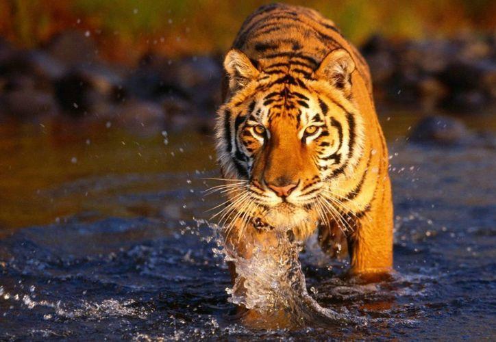 El tigre atacó a la mujer cuando ella y su esposo pescaban cangrejos en un manglar de Bengala Occidental, en la India. (hdw.eweb4.com)