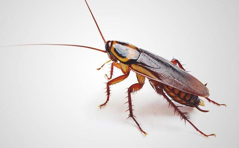 Sacan cucaracha de oído de mujer tras nueve días