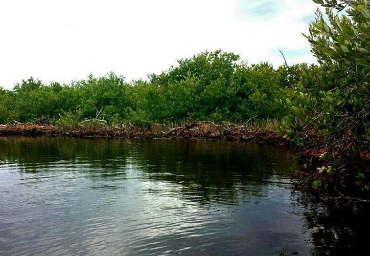 El proyecto de reforestación de mangle y apertura de flujos naturales en la Laguna Colombia a dado frutos en Cozumel. (Gustavo Villegas/SIPSE)