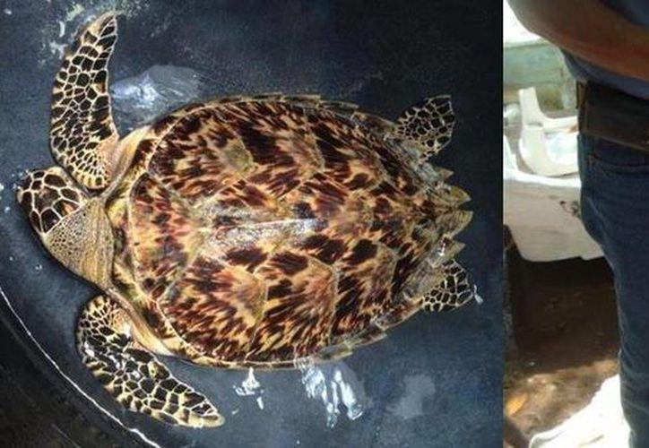 Dos de las especies aseguradas se encontraban con lesiones, por lo que serán cuidadas hasta que puedan ser regresadas a su hábitat natural. (Redacción/SIPSE)