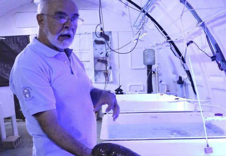 El coordinador científico de la Estación Marina del Cinvestav en Telchac Puerto, Miguel Olvera Novoa, explicó que en 2007-2008 comenzaron a trabajar en el cultivo de la especie para tratar de domesticarla. (José Acosta/Milenio Novedades)