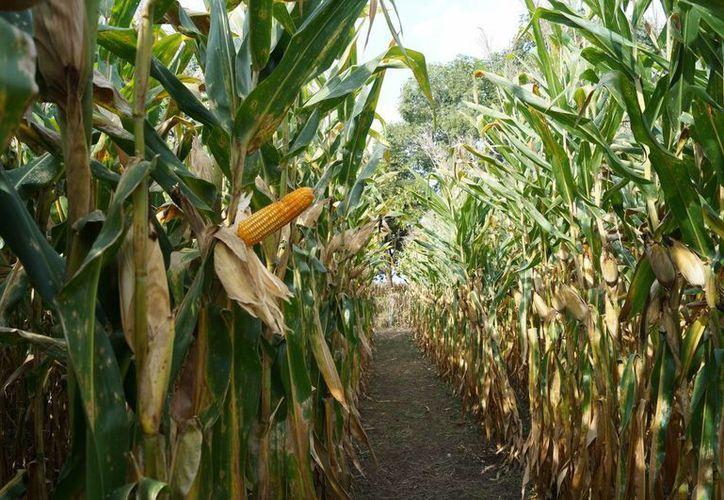 El cultivo de la piña en los últimos tres años se ha venido consolidando como una de las actividades más fuertes de las poblaciones rurales. (Javier Ortíz/SIPSE)