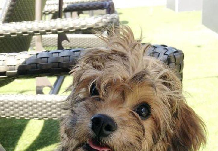 El animalito es un híbrido de las razas  Cavalier King Charles Spaniel, Poodle miniatura y Bichon Frise. (Agencias)