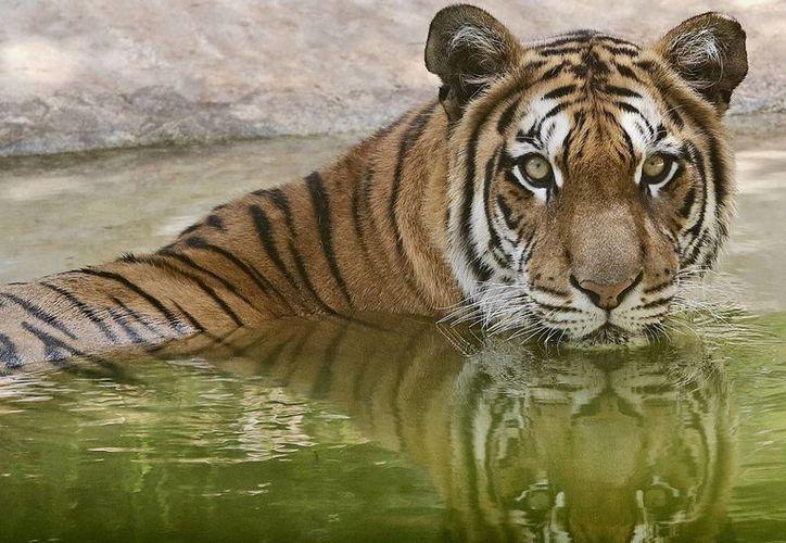 Los tigres que poseía 'El Chuyín', un macho y una hembra, quedaron a disposición de la autoridad competente. La imagen es meramente ilustrativa. (Archivo/Notimex)