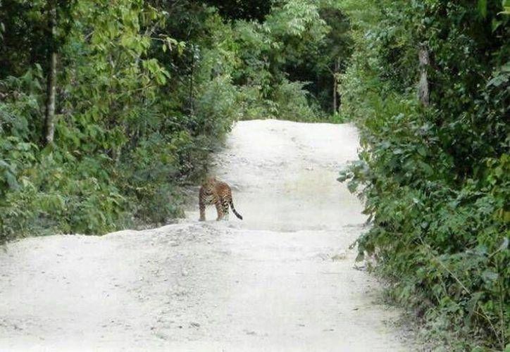 El desarrollo hotelero del norte del estado está arrasando con el hábitat del jaguar.  (Rossy López/SIPSE)