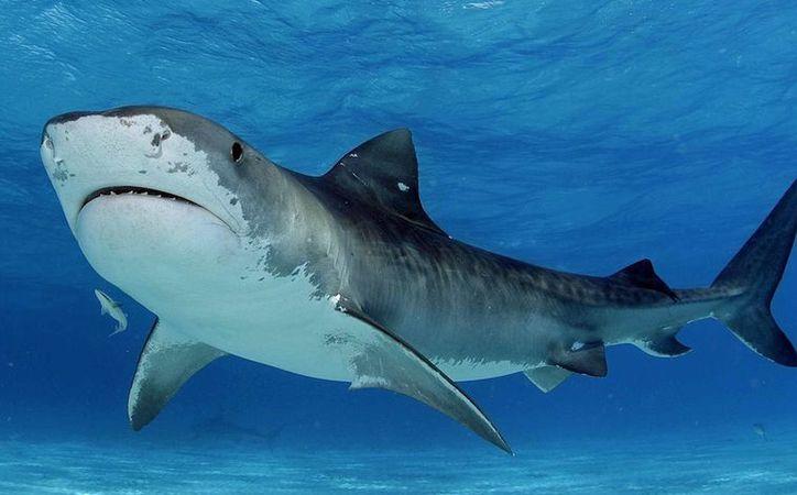 El tiburón tigre no se encuentra entre la especies en peligro de extinción, por lo que ecologistas desconocen si hay delito. (Foto: Contexto/Internet)