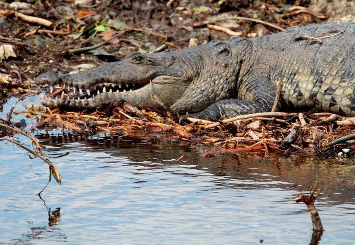El cocodrilo es una de las especies protegidas más importantes. (Luis Soto/SIPSE)