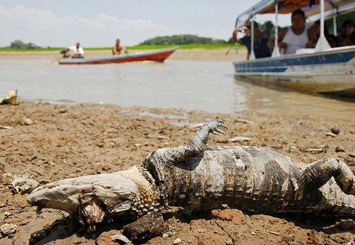 Cocodrilo muerto yace en un lago que forma parte del sistema del Río Amazonas. (Foto: RT)