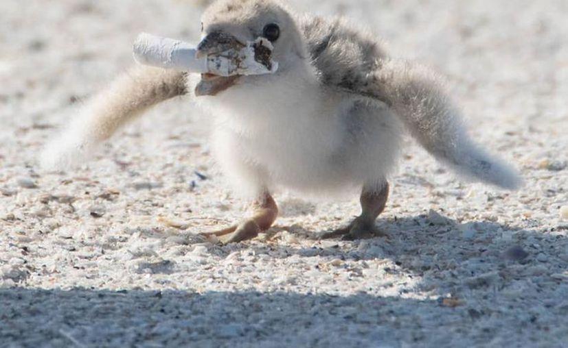 El polluelo no parecía distinguir la diferencia entre el residuo y un pequeño pez. (Facebook Karen Catbird)