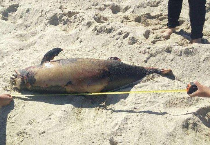 La vaquita marina hallada sin vida cerca del puerto de San Felipe no presentaba heridas ni marcas de redes de pesca. (Facebook/Profepa)