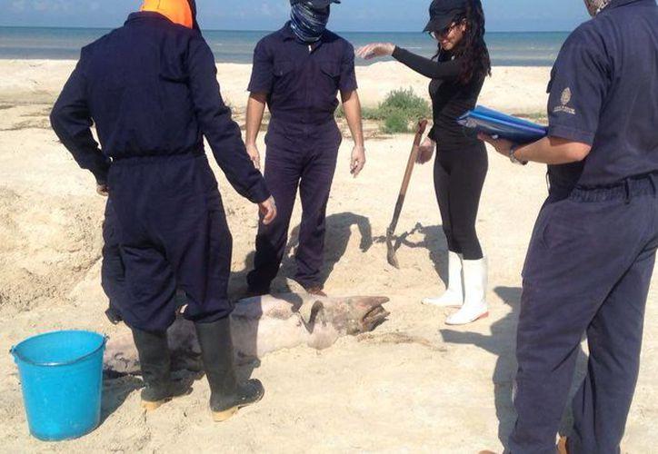 Investigadores del Picmmy de la Uady realizaron la autopsia del delfín hallado muerto en playas de Progreso. (Gerardo Keb/Milenio Novedades)