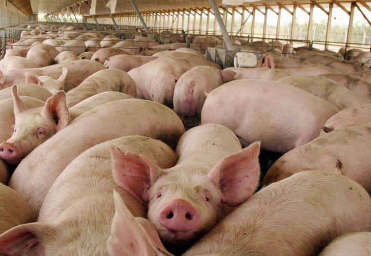 En un Rastro Tipo Inspección Federal el kilogramo de porcino en pie se eleva hasta en %40 o más. (Carlos Castillo/SIPSE)