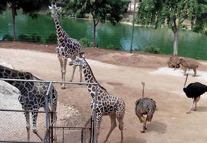 La Profepa señaló en su dictamen que el personal médico veterinario del Zoológico Animaya brindó la atención médica necesaria a la jirafa, al conocer su enfermedad. (Archivo/Facebook)