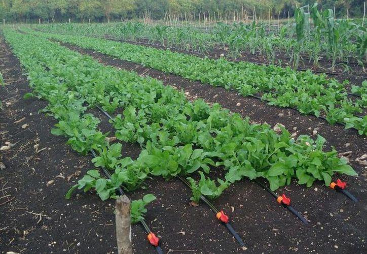 Cerca de 800 personas participan en la producción de hortalizas en el sur de Quintana Roo. (Benjamín Pat/SIPSE)