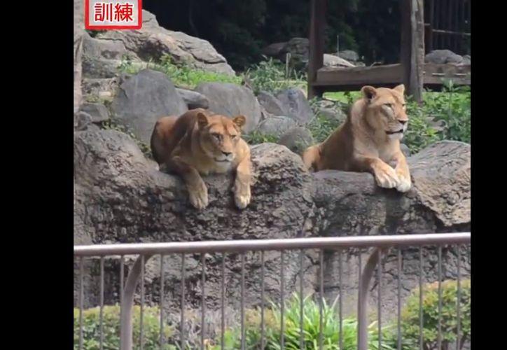 Dos leonas causaron sensación al ser captadas mirando cómo se realizaba el simulacro de captura de un león, en un zoológico de Japón. (Twitter/@eizo_desk)