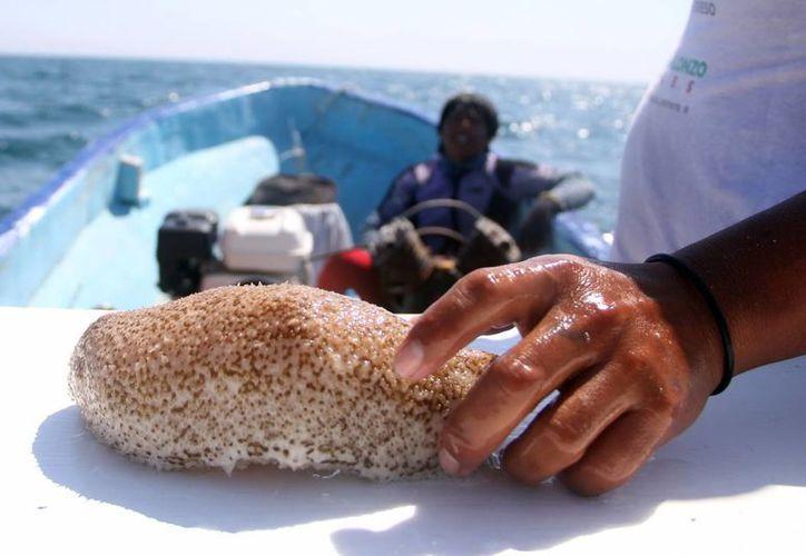 Autoridades revelaron que el pepino de mar pronto será una especie en peligro de extinción en Yucatán, por el ritmo de captura que tiene. (Milenio Novedades)