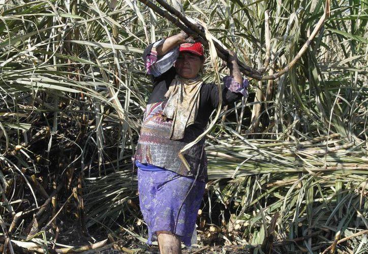 Las mujeres que trabajan en la industria cañera de Q. Roo sufren discriminación, según una investigadora. (Ángel Castilla/SIPSE)